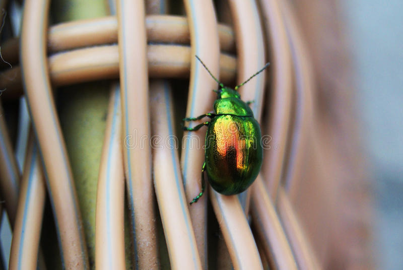 Green Beetle royalty free stock photos