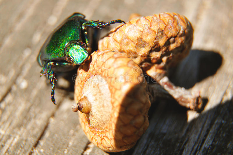 The green beetle sits on the acorn royalty free stock image