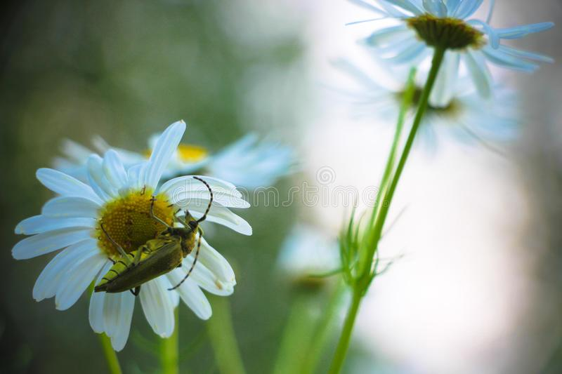 A green beetle sits on a white daisy flower. royalty free stock images