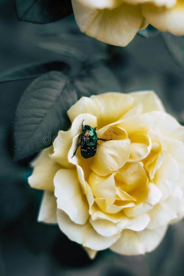 Green beetle sits on a yellow rose stock photo