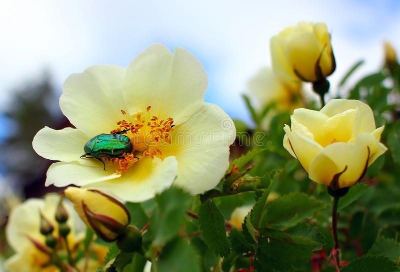 A green beetle in the sun on a wild rose flower. Eats flowers royalty free stock photos