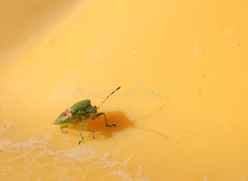 Green beetle on yellow background.  royalty free stock photography