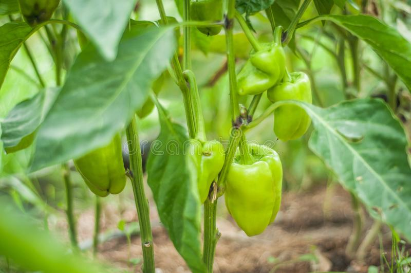 Green bell pepper grows on a bush. Home production. environmentally friendly product with vitamins.  royalty free stock images