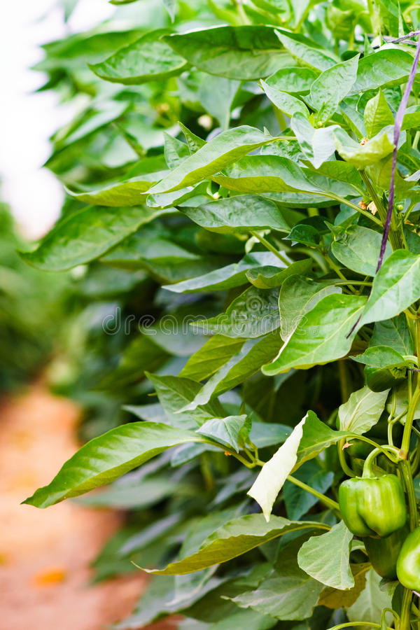 Green Bell peppers royalty free stock photos