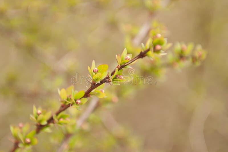 Green Berberis. Branch at spring stock image