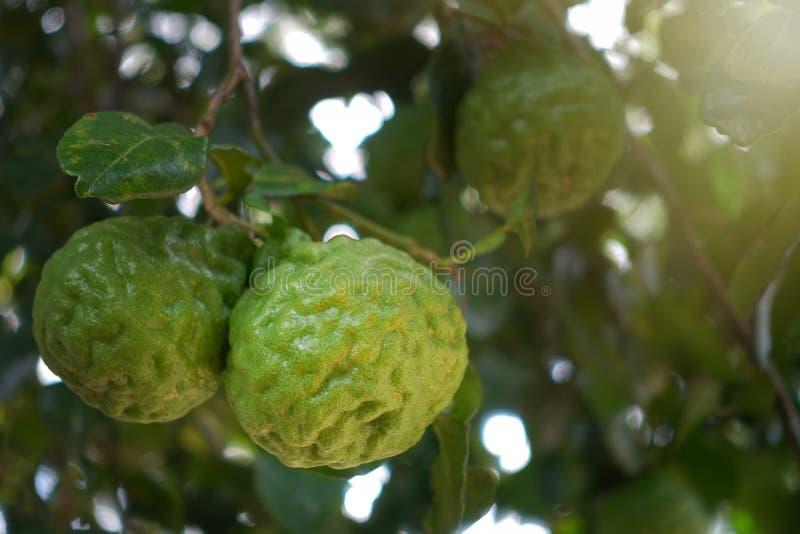 Green bergamot stock photography