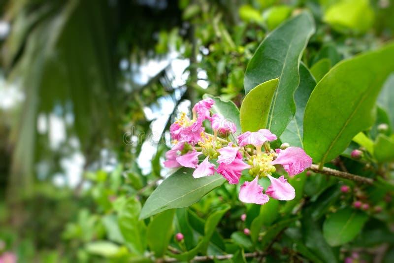 Green bergamot or Kaffir lime on tree. royalty free stock image
