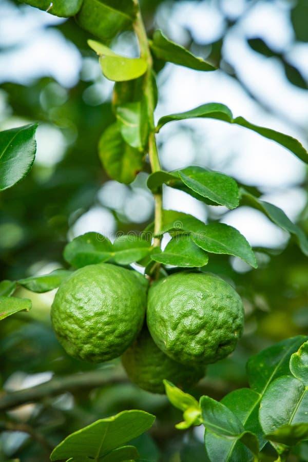 Green bergamot on tree royalty free stock photo