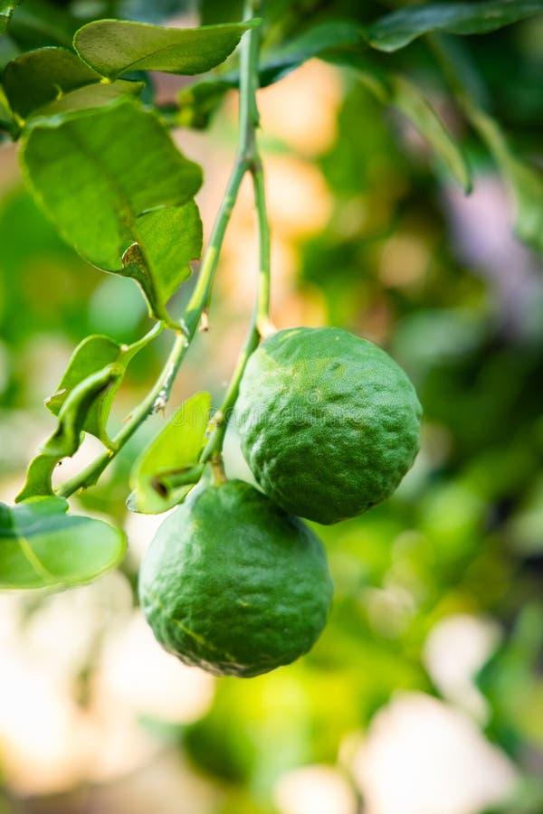 Green bergamot on tree. In garden royalty free stock photo