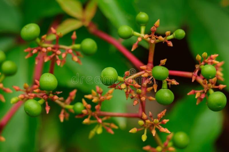Green berries of wild vines stock photos