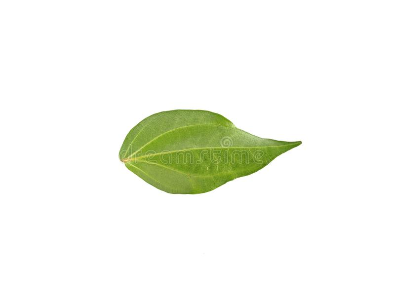 Green betel leaves isolated on white background royalty free stock photography