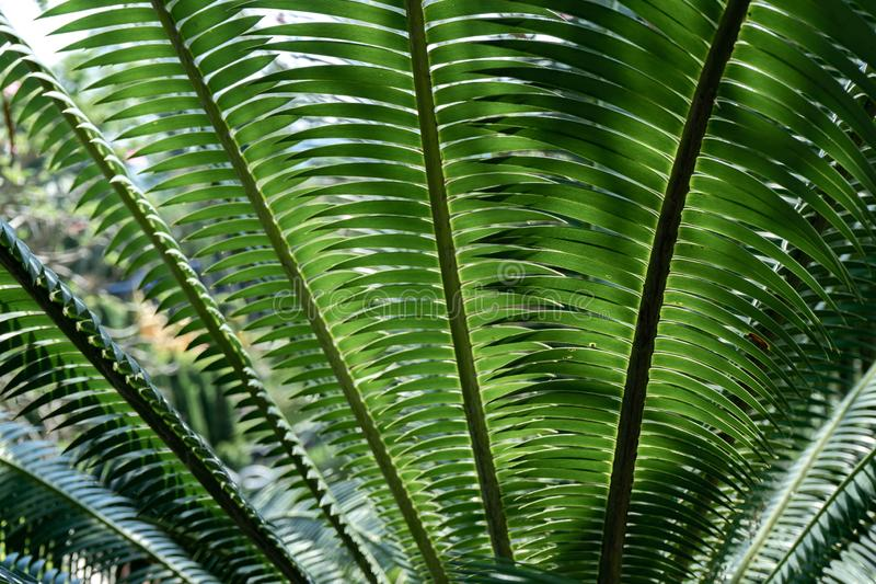 Green betel palm leaf pattern, natural texture background concept. Copy space plam tree plant deep dark elegant backdrop nature grow relaxation tropical stock photography
