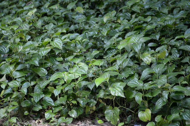 Green betel piper plant in nature garden. Fresh green betel piper plant in nature garden royalty free stock image