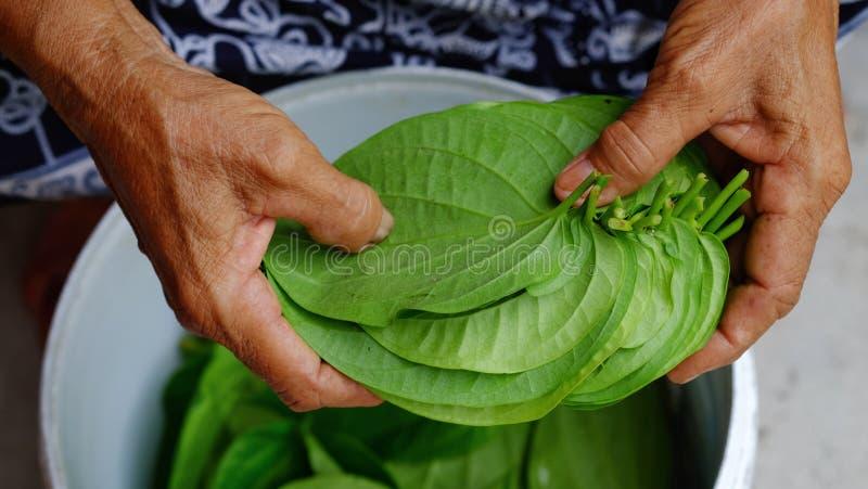 Green betel royalty free stock photo