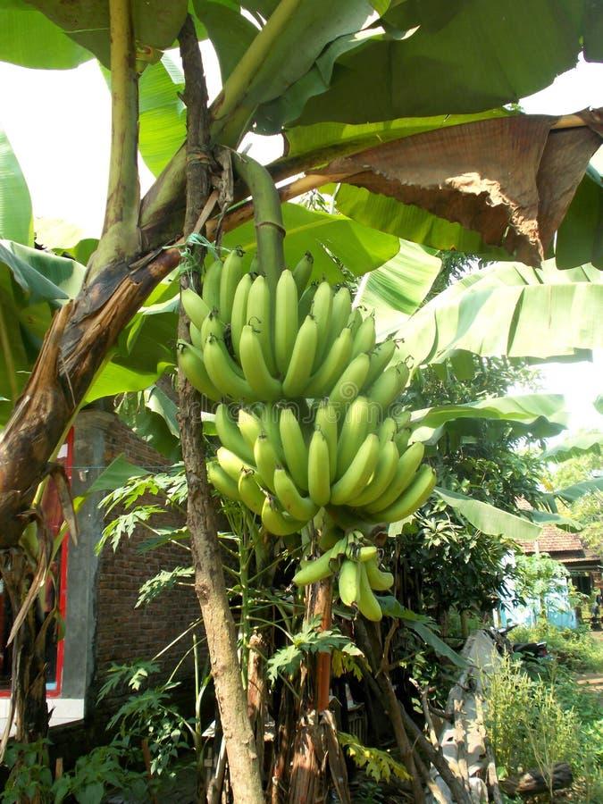 Green big banana hanging on the banana tree royalty free stock photos
