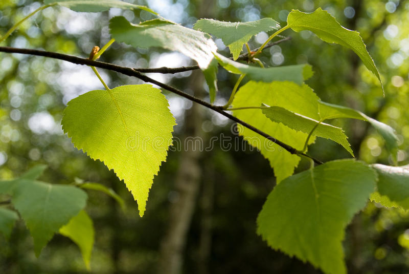 Green birch branch stock photography