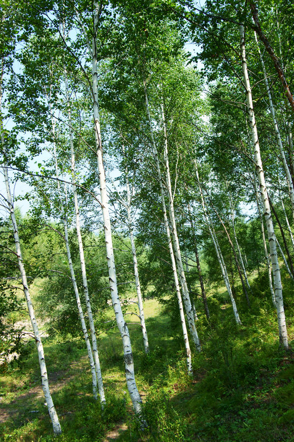 Download Green Birch   Forest Royalty Free Stock Photography - Image: 21679337