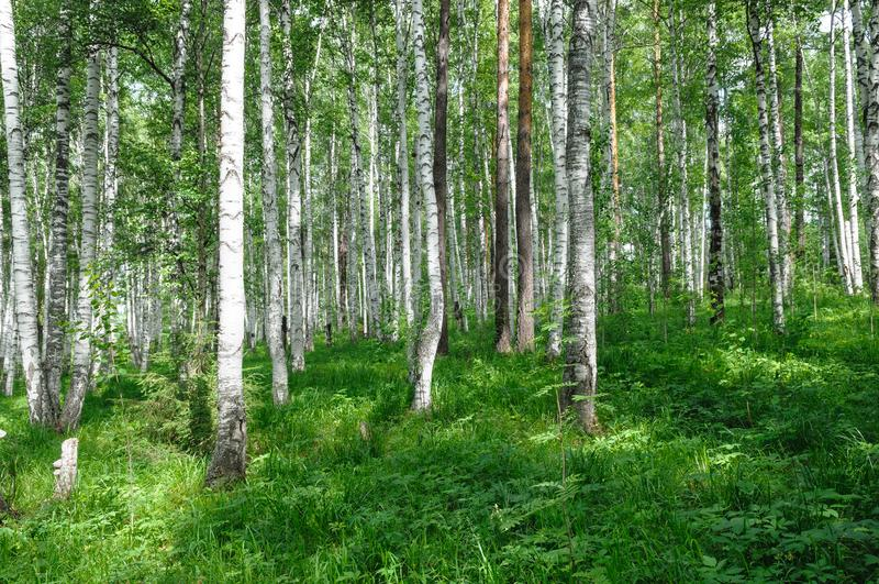 Green birch forest summer season stock photos