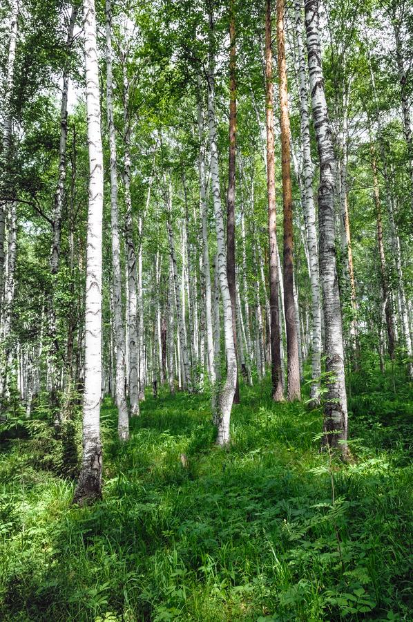 Green birch grove forest at summer time stock image