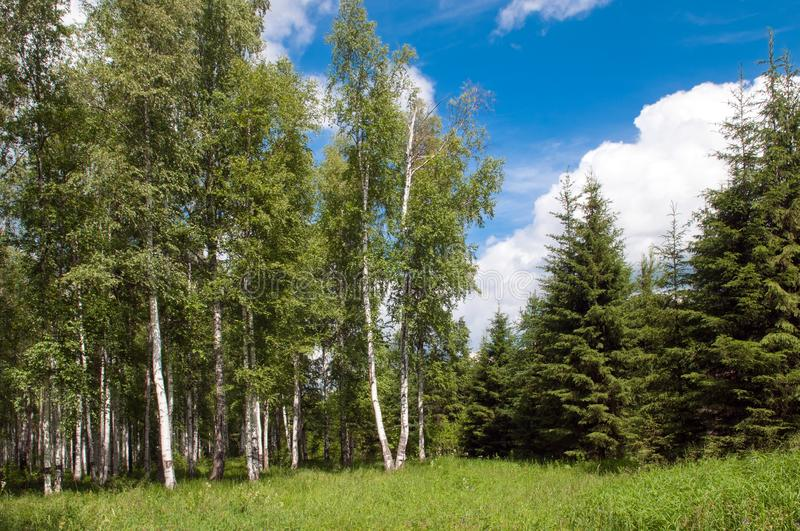 Green birch grove and some pine forest at summer time royalty free stock photos