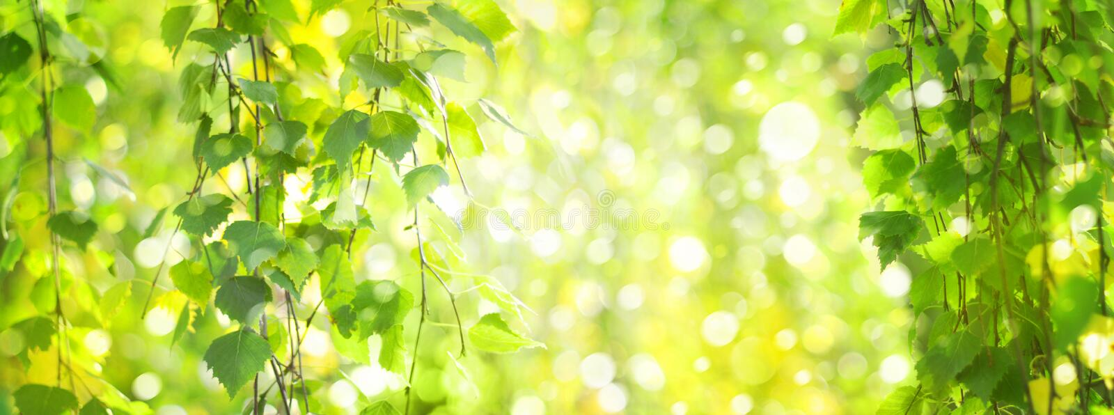 Green birch leaves branches bokeh background. royalty free stock images