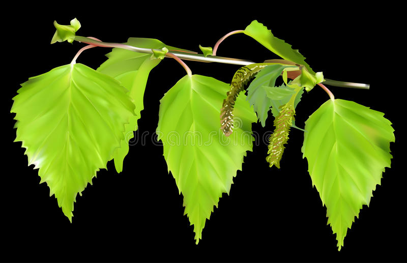 Green birch leaves isolated on black stock illustration
