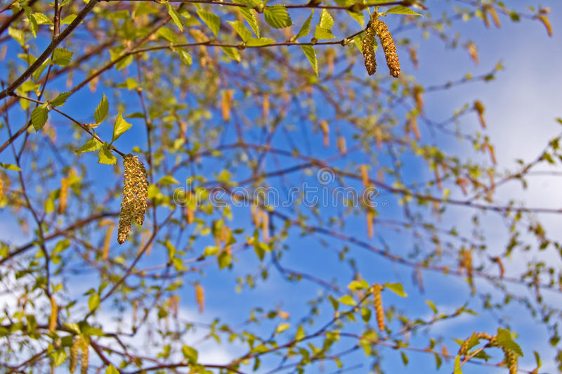 Download Green Birch. Spring. Stock Photos - Image: 14614693