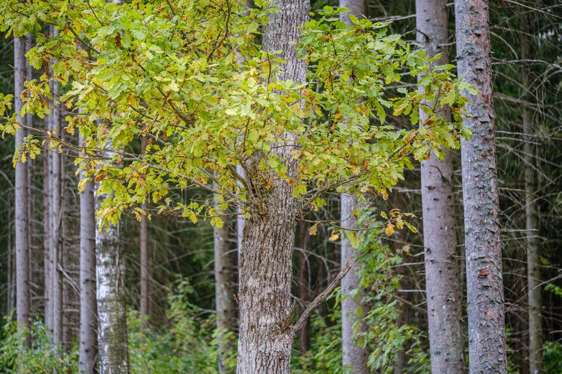 green birch trees with some yellow colored autumn leaves stock photography