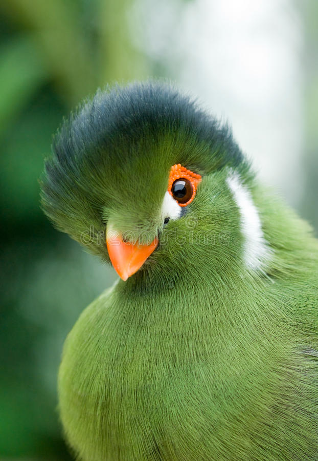 Green bird. A nice green bird in closeup royalty free stock images