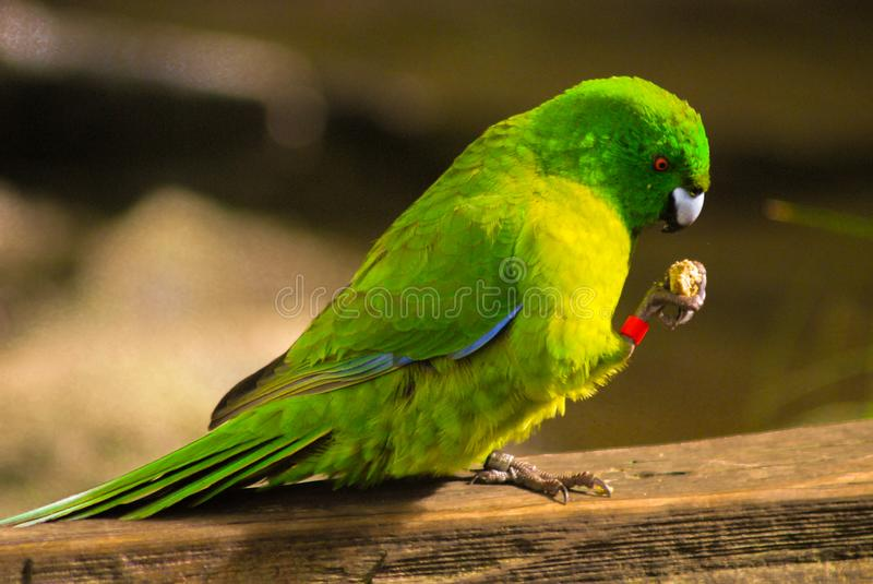 A green bird eating. A green bird standing and eating food stock photos