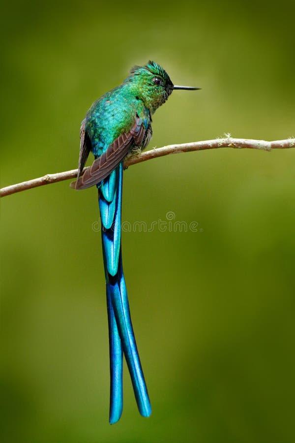 Green bird with long blue tail. Beautiful blue glossy hummingbird with long tail. Long-tailed Sylph, hummingbird with long blue ta. Green bird with long blue stock photography