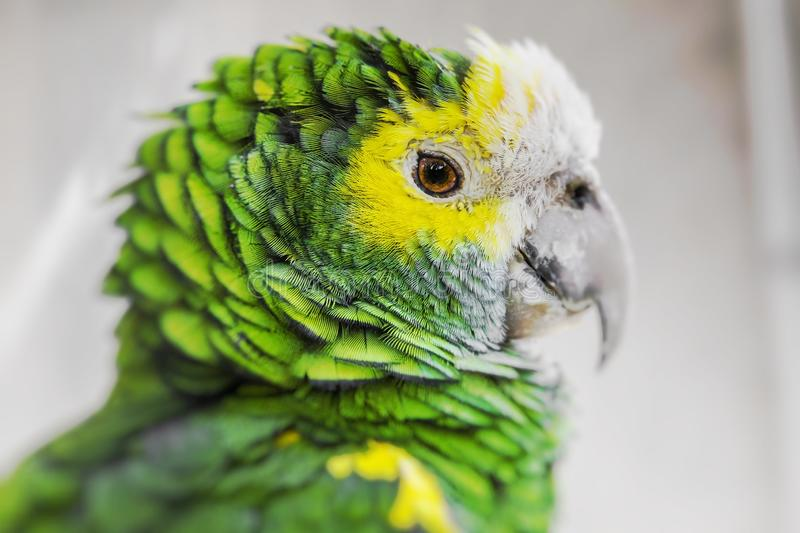 Green bird plumage, Harlequin Macaw feathers, nature texture background. Selective Focus.  stock images