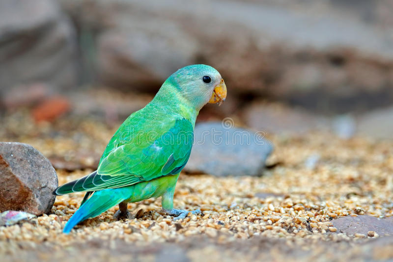 Green bird sitting on stone. Nesting Rose-ringed Parakeet, Psittacula krameri, India, Asia. Parrot in in green forest. Parrot in t. Green bird sitting on stone stock photos