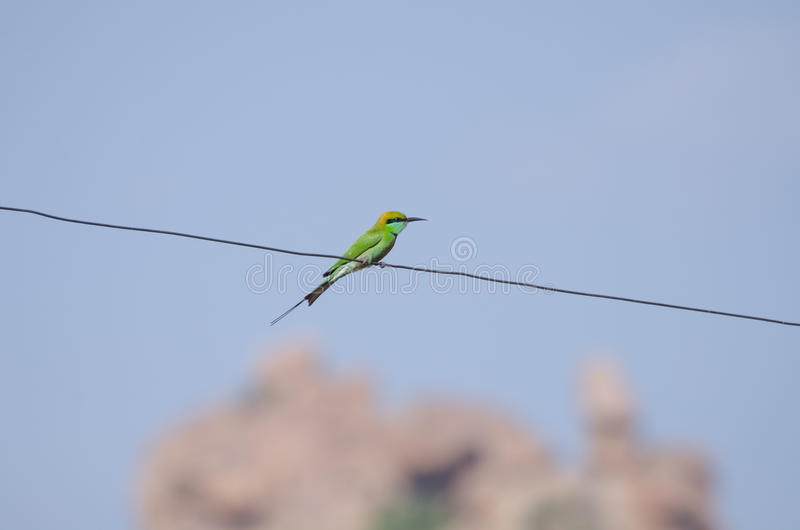 Green bird sitting on the wire, India stock photos
