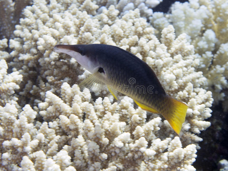 Green birdmouth wrasse. In Red sea stock photography