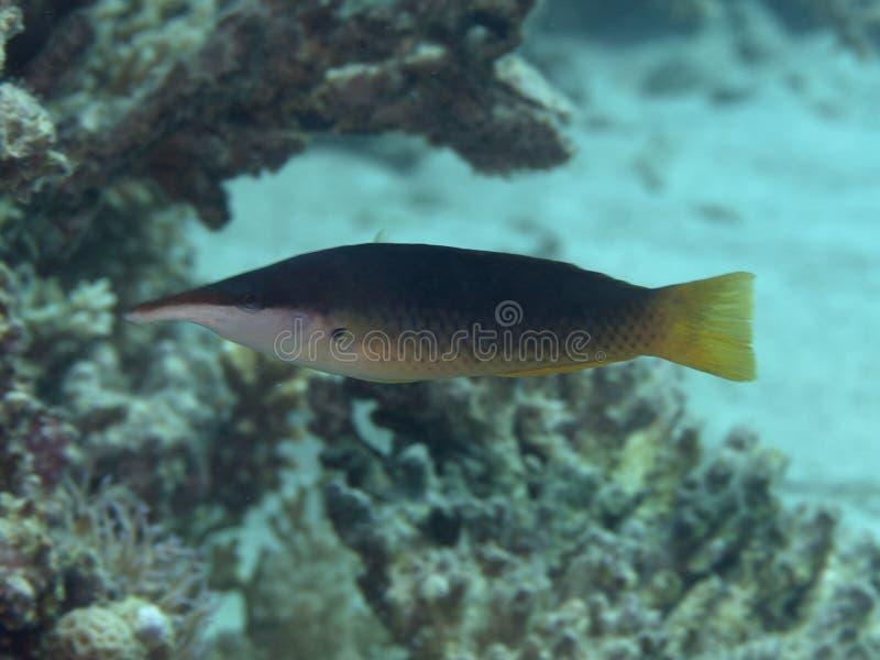 Green birdmouth wrasse. In Red sea, Egypt, Hurghada stock photo