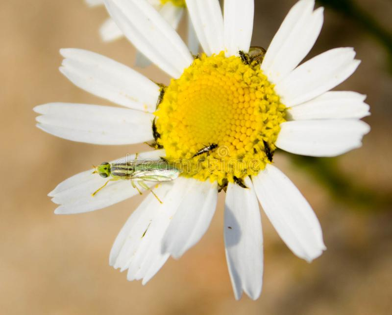 Green and black beetles are basking in the daisy petals stock photo