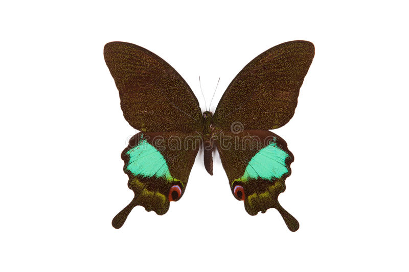 Green and black butterfly Achillides karna stock image