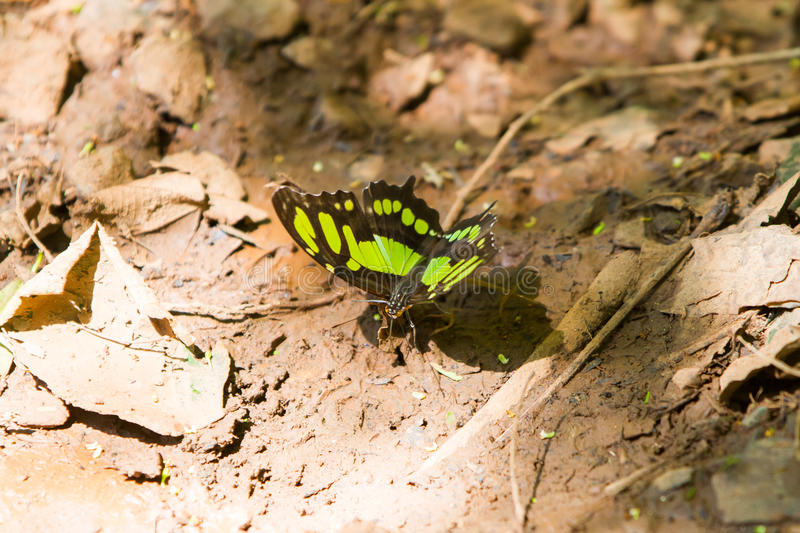 Green and black butterfly stock image