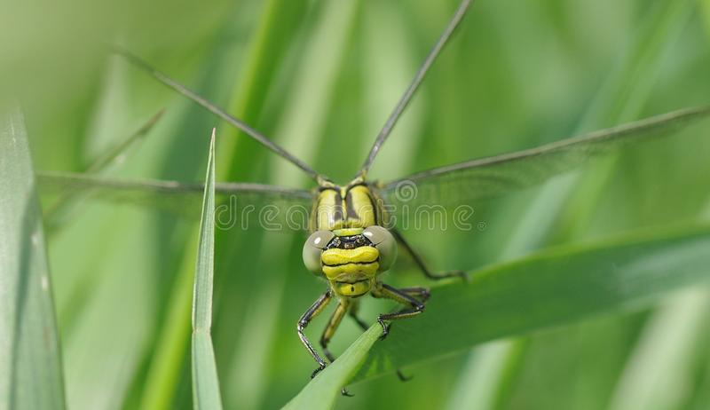 Green and Black Dragon Fly on the Grass Photography stock image