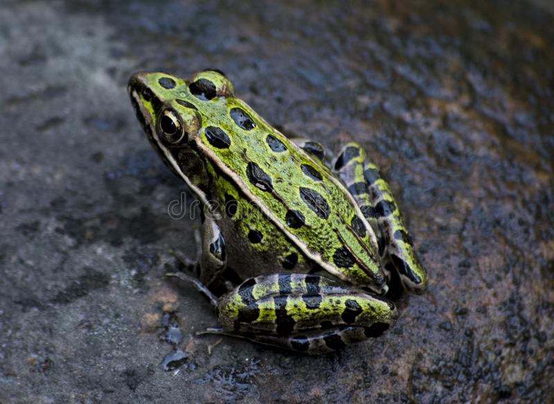 Green and Black Frog Photography royalty free stock photo