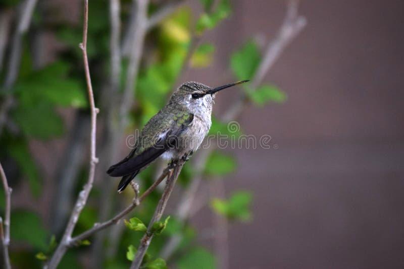 Green & Black Hummingbird on Branch royalty free stock photo