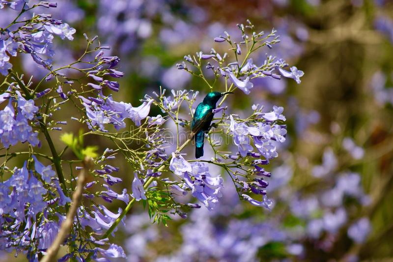 Green and Black Hummingbird stock photo