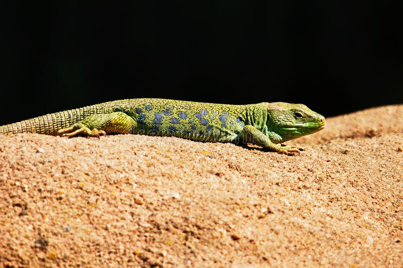 Green and Black Lizard royalty free stock images
