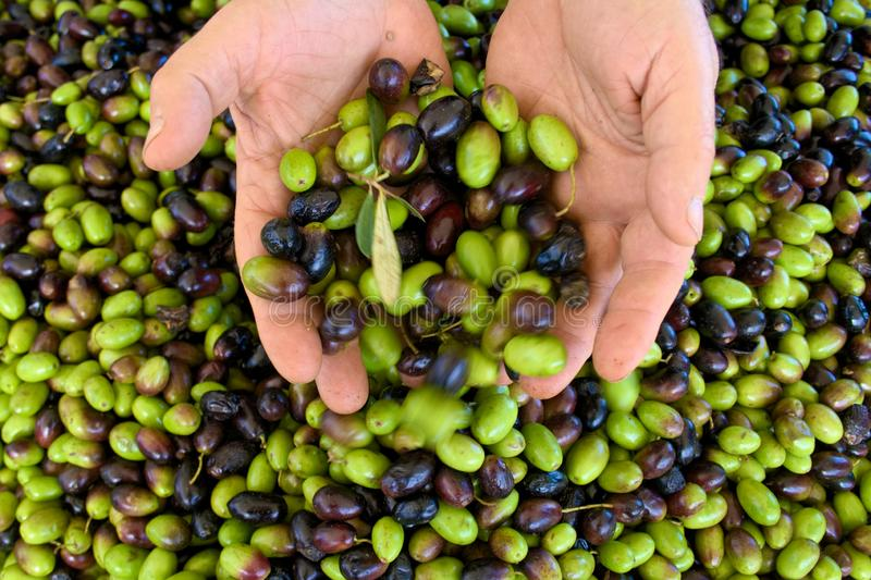 Green and black olives in the hands. Green and black olives ready to be processed at the mill to get the olive oil, close up stock photo