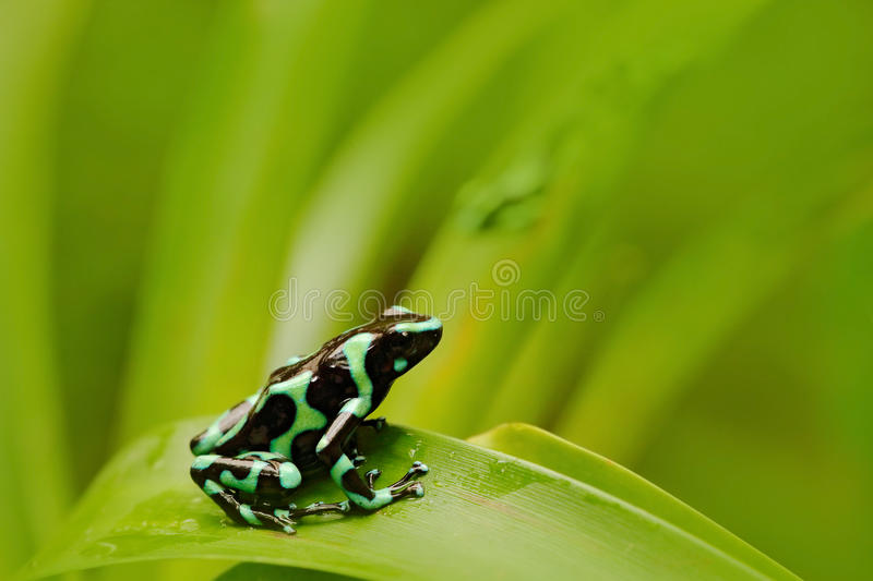 Green Black Poison Dart Frog, Dendrobates auratus, in the nature habitat. Beautiful motley frog from tropic forest in South Americ. A royalty free stock photos