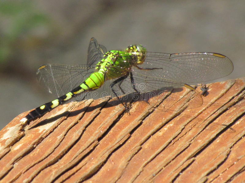 Green, Black, and Yellow Dragonfly stock image