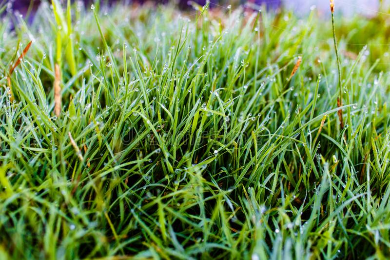 Green blades of grass covered in many dew drops close-up royalty free stock photos