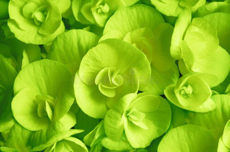 Green blooming begonia flower closeup royalty free stock images
