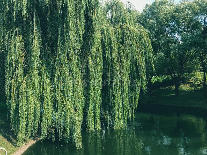 Green blooming water in a lake pond and branches with leaves of a weeping willow tree hanging in the water on a river on. Nature stock photography